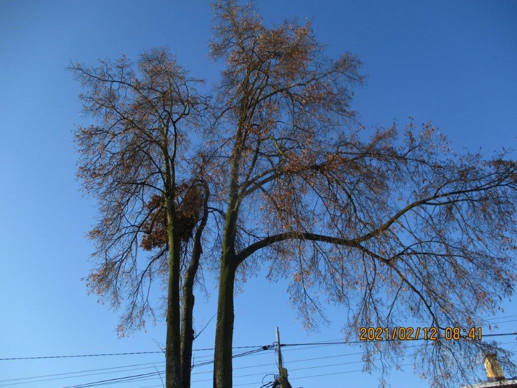 Niebezpieczny zwis gałęzi nad ulica.