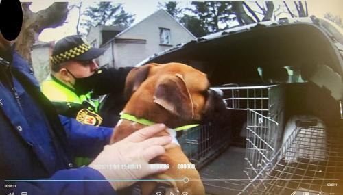 Przy ul. Piotra Skargi przebywa pies rasy Bokser bez opieki - interwencja SM.